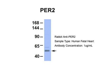 PER2 antibody - middle region (ARP39565_P050)