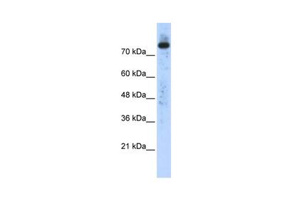 PLD2 antibody - N-terminal region (ARP38182_P050)