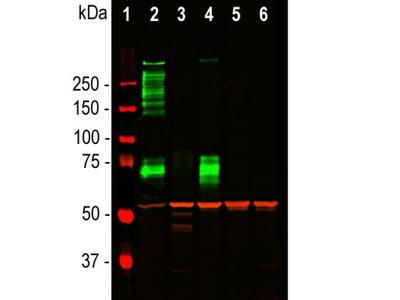 MAP2 Antibody (2C4)