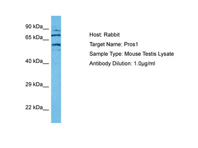 PROS1 antibody - middle region (ARP56097_P050)