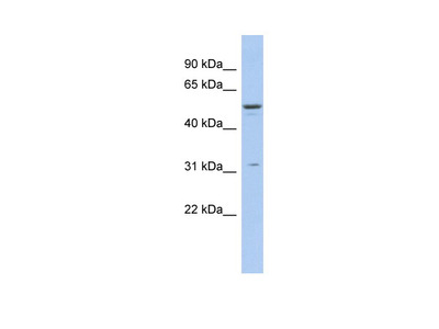 TRIM14 antibody - middle region (ARP34737_P050)