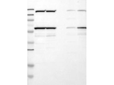 N-PAC Antibody
