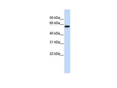 SH3BP2 antibody - middle region (ARP56546_P050)