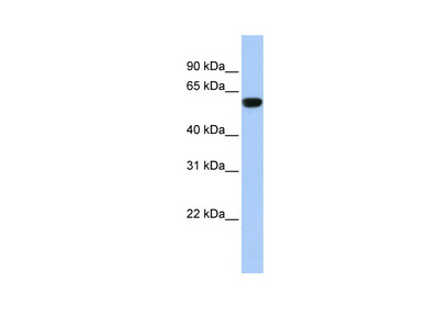TRIM72 antibody - middle region (ARP42971_P050)