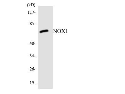 NOX1 Antibody
