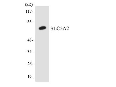 SLC5A2 / SGLT2 Antibody