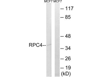 POLR3D Antibody