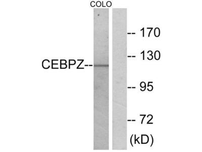 CEBPZ / CBF Antibody
