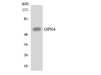 OPN4 / Melanopsin Antibody