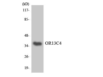 OR13C4 / OR2K1 Antibody