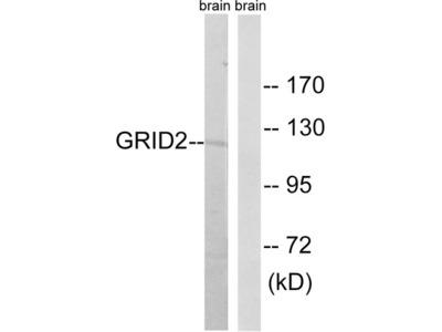 GRID2 Polyclonal Antibody