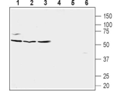 Anti-Human CXCR5 (extracellular) Antibody