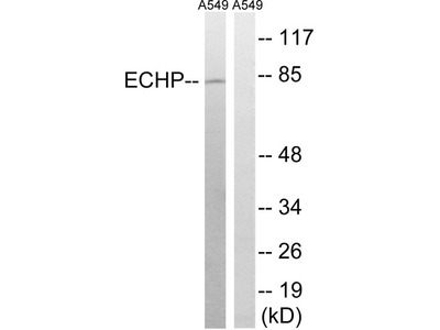 EHHADH / Enoyl-Coa Hydratase Antibody