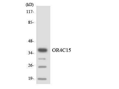 OR4C15 Polyclonal Antibody