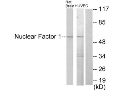 NFIA+NFIB+NFIC+NFIX Antibody