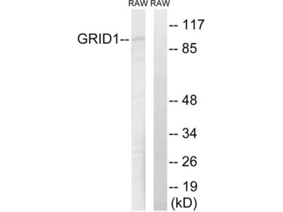 GRID1 Antibody