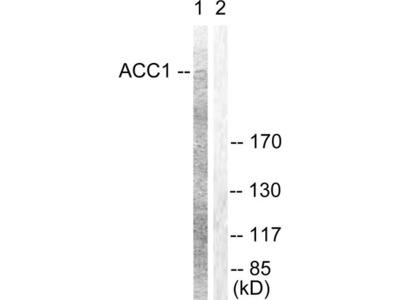 Acetyl-CoA Carboxylase / ACC Antibody