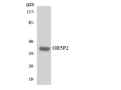 OR5P2 Antibody