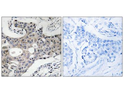 SEC16L / SEC16A Antibody