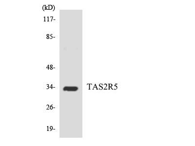 T2R5 / TAS2R5 Antibody