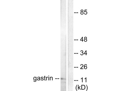 Gastrin Polyclonal Antibody
