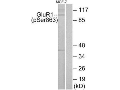 GRIA1 / GLUR1 Antibody
