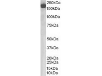 Goat Polyclonal Antibody against CFH
