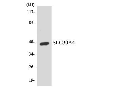 SLC30A4 Antibody