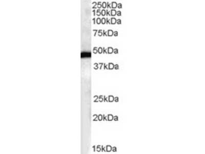 Goat Polyclonal Antibody against FBXL2