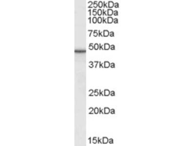 Goat Polyclonal Antibody against M6prbp1