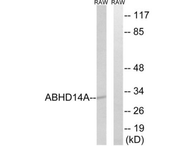 ABHD14A Polyclonal Antibody