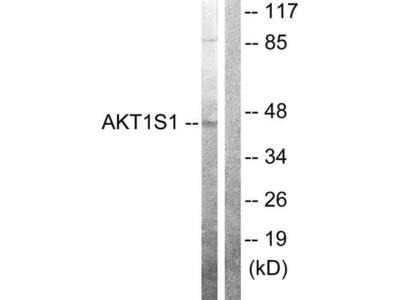 AKT1S1 / PRAS40 Antibody