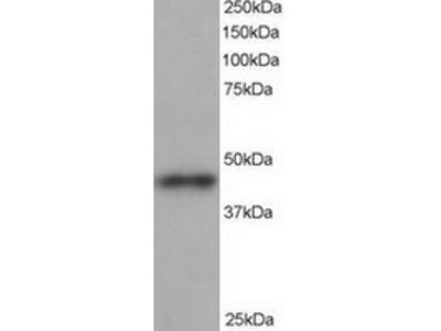 Goat Polyclonal Antibody against ACTR1B