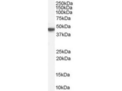 Goat Polyclonal Antibody against Cholinergic receptor / CHRM1