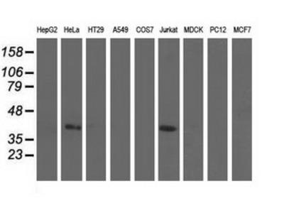 CBWD1 Monoclonal Antibody