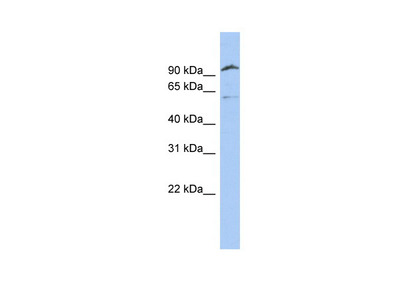 TMPRSS6 antibody - N-terminal region (ARP53188_P050)