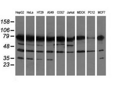 PUS7 Monoclonal Antibody