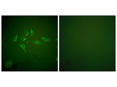 NOS2 / iNOS Antibody
