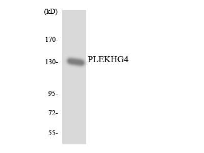 PLEKHG4 Antibody