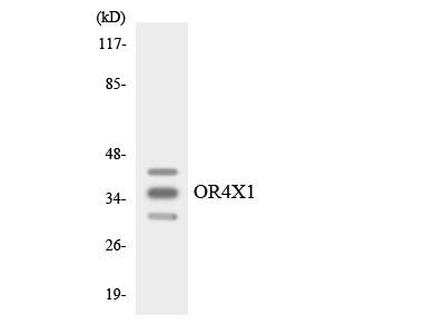 OR4X1 Polyclonal Antibody