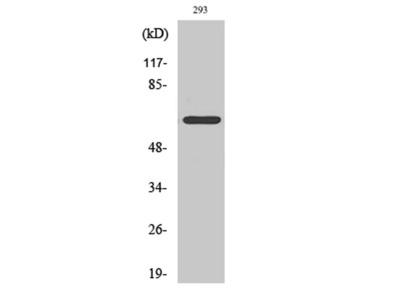 ARMX2 Polyclonal Antibody