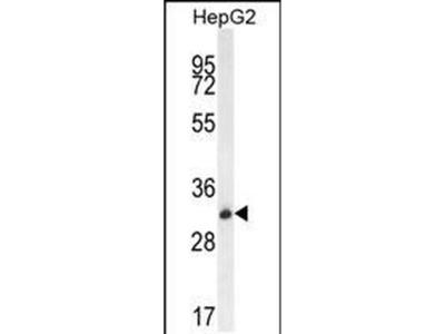 OR4K5 Polyclonal Antibody