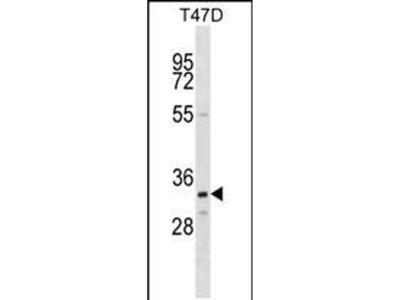 OR4D11 Polyclonal Antibody