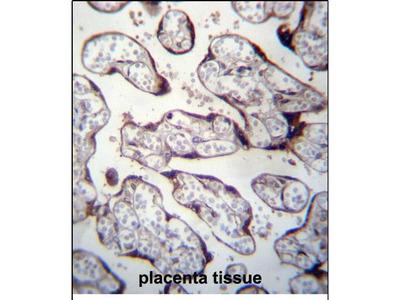 LOXL3 Polyclonal Antibody