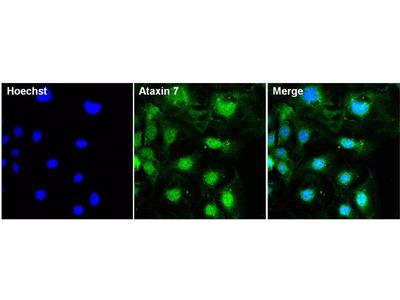 Ataxin 7 Antibody