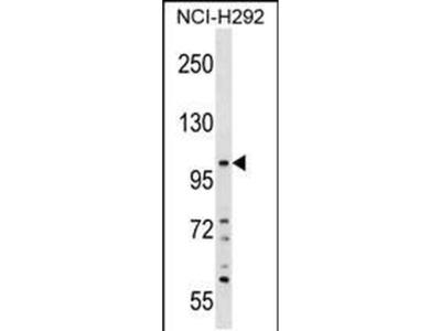 PLEKHA6 Polyclonal Antibody