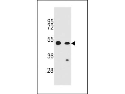 COP1 Polyclonal Antibody