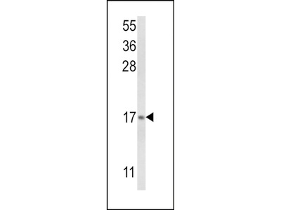 LTC4S Polyclonal Antibody