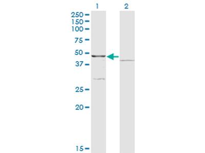 COQ3 Antibody