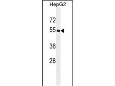 CCNJL Polyclonal Antibody